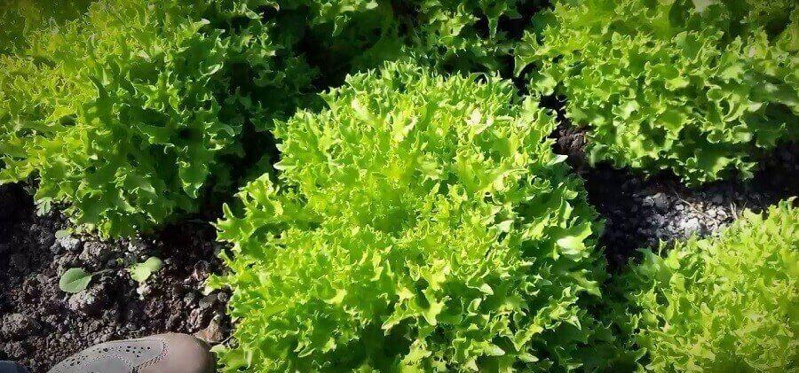 10 populyarnyh vidov listovyh salatov9